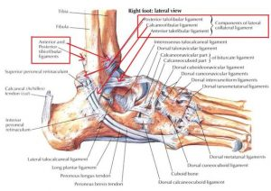 474e9d960fe20b339b66000d858552a3 ankle anatomy sprained ankle 300x212 - The BJJ Ankle Lock - A Detailed Guide For Every Position