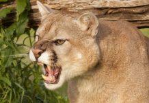 Runner Kills Mountain Lion With Choke