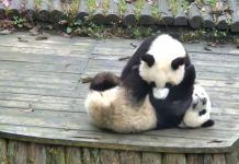 Animal grapplers pandas cover