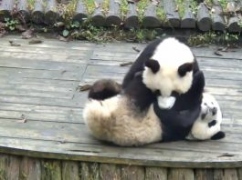 Animal grapplers pandas cover