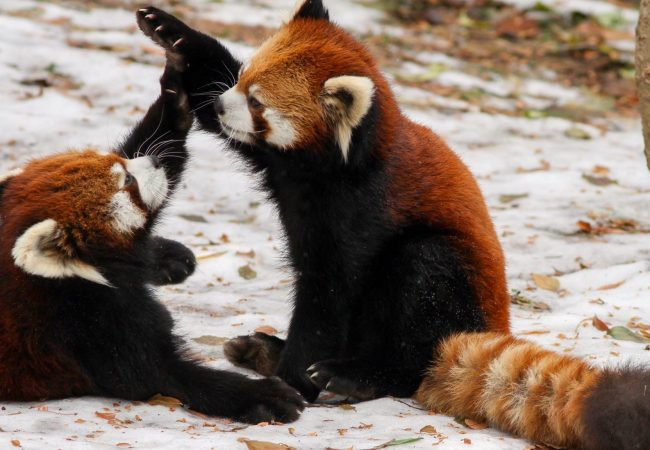red pandas 1 650x450 1 - Animal Grapplers - The Real Founders Of Grappling Martial Arts